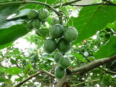 Blätter duften wie Erdnuss, goldgelbe Tamarillo BAUM-TOMATE kleine Früchte