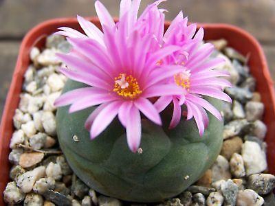tief-kräftige Farben wunderschöne Superblume ANISYSOP