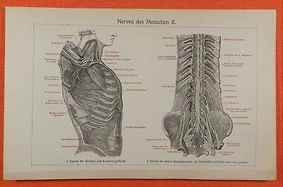 Nerven des Menschen  Anatomie Litho 1909  Rückenmark Nervengeflecht Wirbelsäule 2