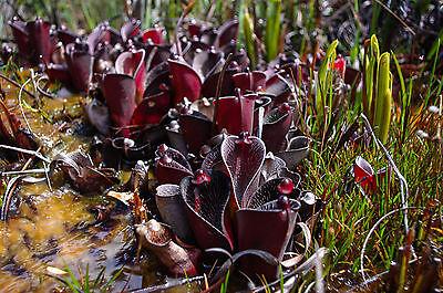 "Byblis filifolia /""Pago Giant/"" Carnivorous plant Plante carnivore"
