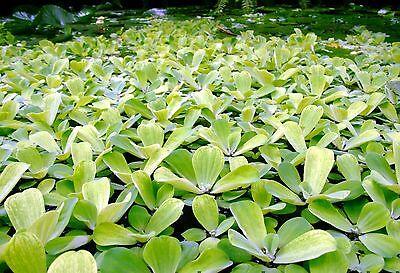pistia special aquarium   lot x 5 plante bassin aquarium refuge alevin 2