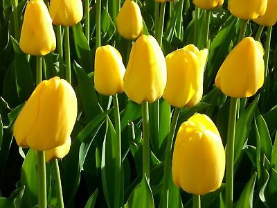 Tulip Mix Red/Yellow/Pink/Purple Bulbs  x 100 Labelled bulbs Flowering Guarantee 5