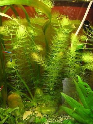 3 x lot 4Ceratophyllum  plante  aquarium  bassin oxygenante