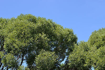 10 Common Osier Willow 4-5 ft,for Basket Making,Salix Viminalis Hedging Plants 3fatpigs/®