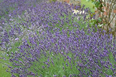 Organic Perennial Flower Lavender Common English 400 Seeds