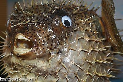 "(1) Sushi Restaurant Decor, Porcupine Fish, Blow Fish, Preserved, 17"", Taxidermy"