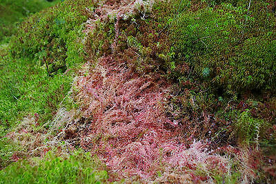 10Kgs FRESH SPHAGNUM MOSS, Loose, Best Quality, New Spagnum Sold Moist as picked 2