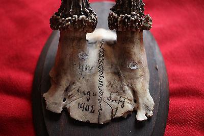 Antique Deer Horn