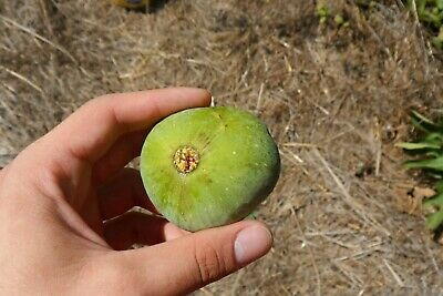 Extra Rare Tiger Panache Fig ~20 Top Quality Seeds Unique Fig Tree Variety