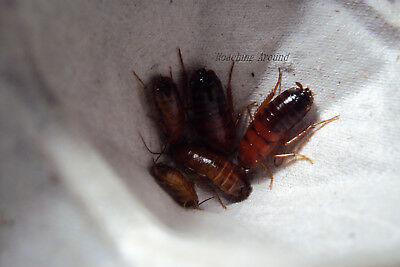 260+Red Runner Roaches.Adults & Medium Nymphs.Feeders.Free Beetles.Dubia Alt 3