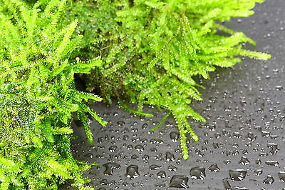 3pcs Java Moss Pad Stone - Aquarium Live Plantes Low Light Tropical 4