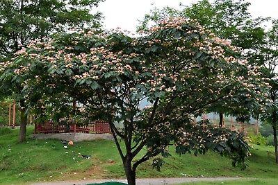 Persian Silk Tree Seeds Albizia Julibrissin Flowering Tree Bonsai 25 50 100 3 57 Picclick