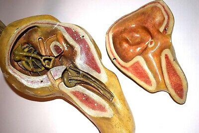 Riesiges antikes anatomische Modell: Ohr 2