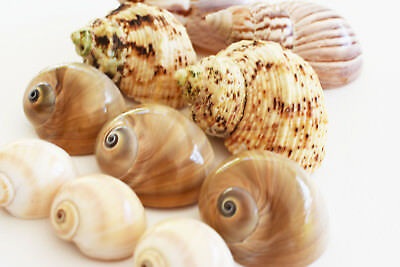 10 Hermit Crab Changing Shell Set Medium Size Land Snail, Moon Shells, Turbo. 4