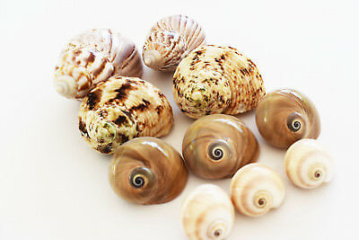 10 Hermit Crab Changing Shell Set Medium Size Land Snail, Moon Shells, Turbo. 5