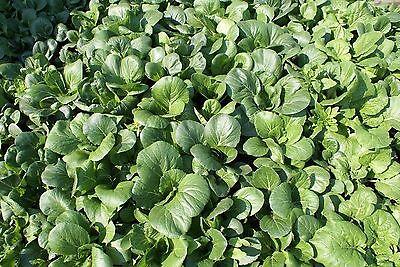 1000 TATSOI Brassica Rapa Rosularis Tat Soi Bok Spinach Mustard Vegetable Seeds 4