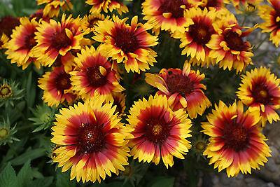 Kokardenblumensamen Samen Pfann M368 Kokardenblume Mischung