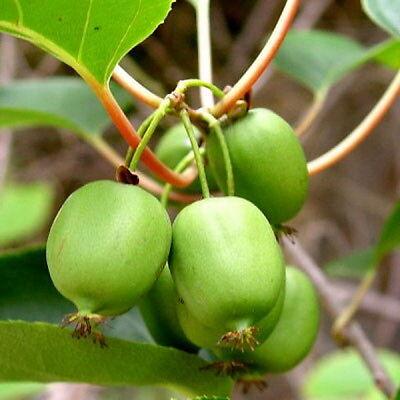Actinidia Arguta - Hardy Kiwi -34C (50 Seeds)
