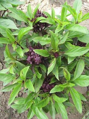 Herb  Basil Thai Siam Queen  Ocimum Basillicum  1200 Finest Seeds 2