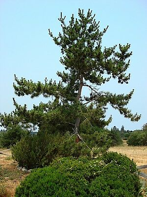 Japanese Black Pine, Pinus thunbergiana, Bonsai! Seeds