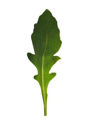 Olivenförmige Blätter 25 Rucola A Foglia d'Ulivo Salatrauke SPEZIELL Samen