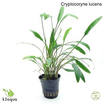 Cryptocoryne lucens Live Aquarium Plants Tropical Aquascaping Nano Tank Co2 EU