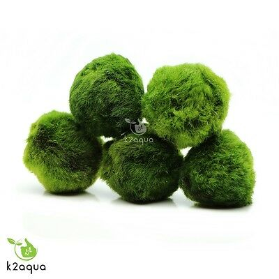 2 GIANT Japanese Marimo Moss Balls 5cm live aquarium plant shrimp fish tank java 3