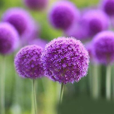 10Pcs Purple Allium Giganteum Seeds Giant Flower Garden Perennials Plant Seeds 2
