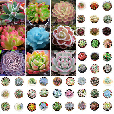400pcs Mixed Home Plant Succulent Seeds Succulents Living Stones Plants Cactus 2