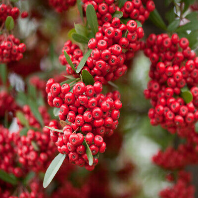 Scarlet Firethorn Hedging Plants 20-40cm Pyracantha Evergreen Hedge Potted 9cm, 10 Plants