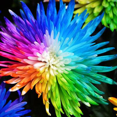 100Pcs/Bag Rainbow Chrysanthemum Flower Seeds Daisy Rare Home Yard Garden Plants