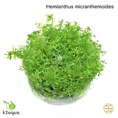 Hemianthus (Micranthemum) micranthemoides In Vitro Live Aquarium Plants InVitro