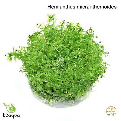 Hemianthus (Micranthemum) micranthemoides InVitro Live Aquarium Tropical Plants 2