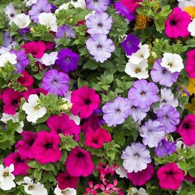 Trailing Petunia Balcony Mix - 0.4 Gram ~ Approx 3200 Seeds - Hybrida Pendula 2