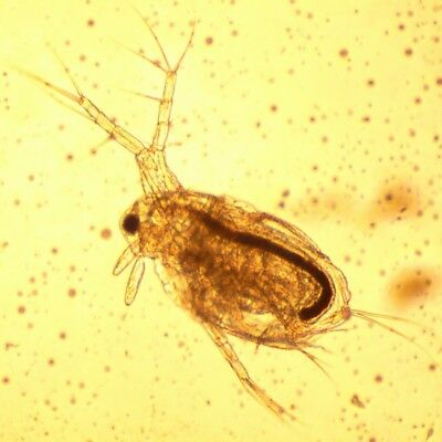 Moina macrocopa (Daphnia like but better) Culture Eggs (Live Food for Fish) 2