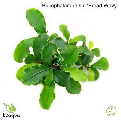 Bucephalandra sp. 'Broad Wavy' InVitro Live Aquarium Plants Tropical Shrimp Safe 2 • EUR 6,44