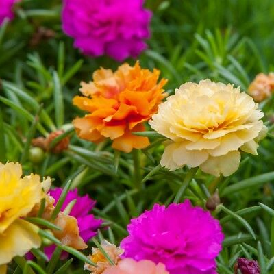 Portulaca Grandiflora Double Mix - Moss Rose - 3500 Finest Seeds 2
