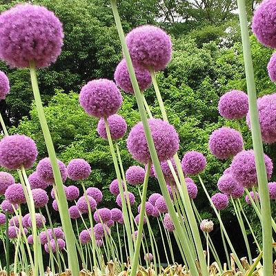 10Pcs Purple Allium Giganteum Seeds Giant Flower Garden Perennials Plant Seeds 6