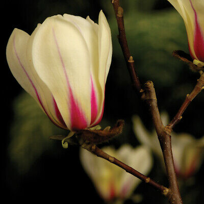 Hardy Perennial Magnolia 'Sunrise' Tree 1 or 2 Bare Roots, or Pot Collection T&M 3