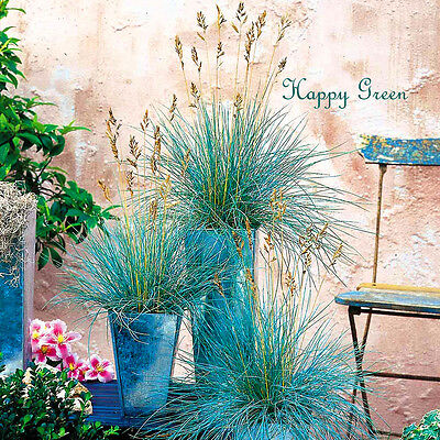 BLUE FESCUE - Festuca Glauca - 600 seeds  -  ORNAMENTAL GRASS 3
