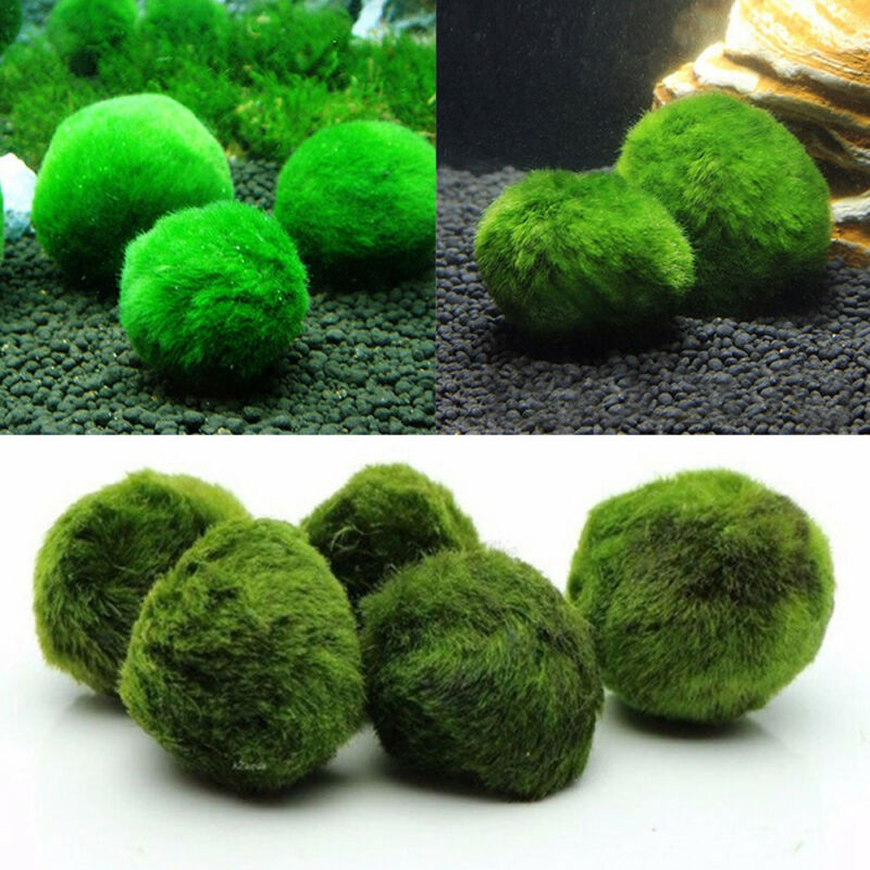 3-5cm Giant  Marimo Moss Ball Cladophora Live Aquarium Plant Fish Aquarium Decor 2