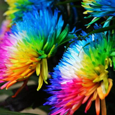 100 Rainbow Chrysanthemum Flower Seeds,rare Special Unique unusual Colorful 7