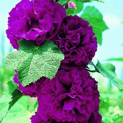 25 Chaters Double Salmon Hollyhock Flower Seeds Flat Rate Shipping