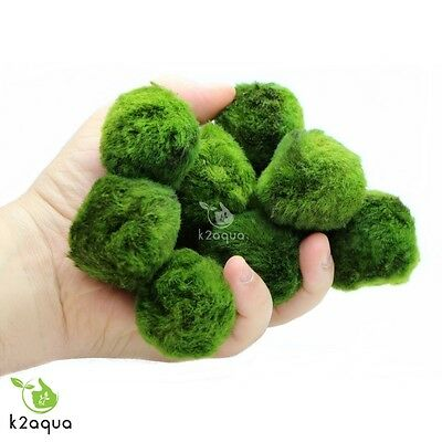 2 GIANT Japanese Marimo Moss Balls 5cm live aquarium plant shrimp fish tank java 2