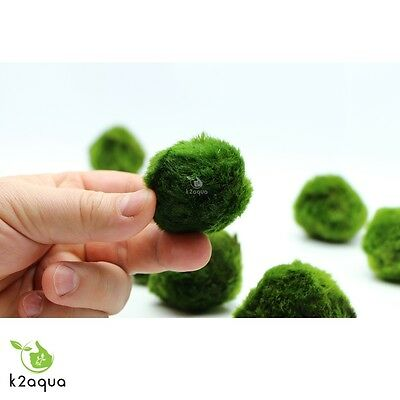 2 GIANT Japanese Marimo Moss Balls 5cm live aquarium plant shrimp fish tank java 4