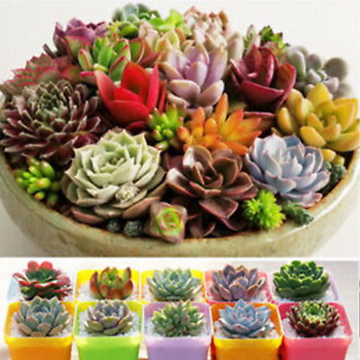 500pcs Mixed Succulent Seeds Lithops Rare Living Stones Plants Cactus Home Plant 7