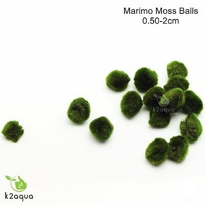 ALL sizes MARIMO MOSS BALLS Cladophora live aquarium plant fish tank shrimp nano 5
