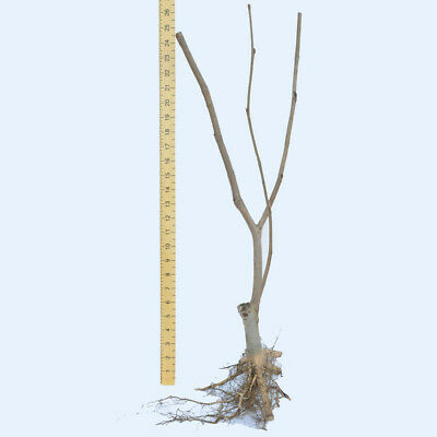 Hardy Perennial Magnolia 'Sunrise' Tree 1 or 2 Bare Roots, or Pot Collection T&M 5