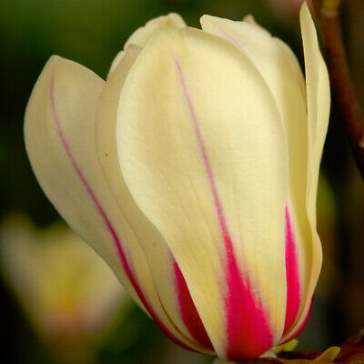 Hardy Perennial Magnolia 'Sunrise' Tree 1 or 2 Bare Roots, or Pot Collection T&M 4