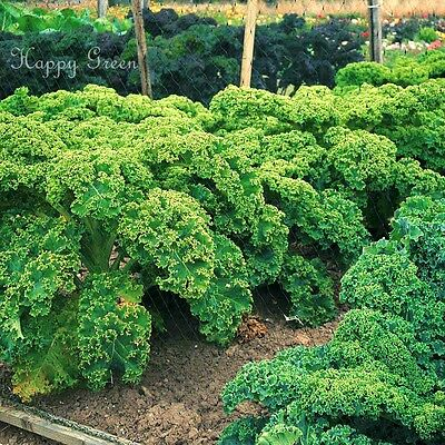 KALE - Borecole Dwarf Green Curled - 3500 SEEDS